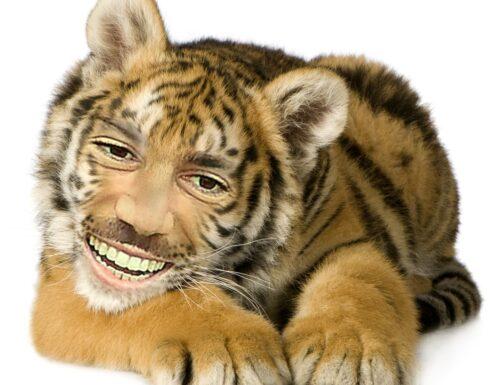 GRAZIANO TIGER